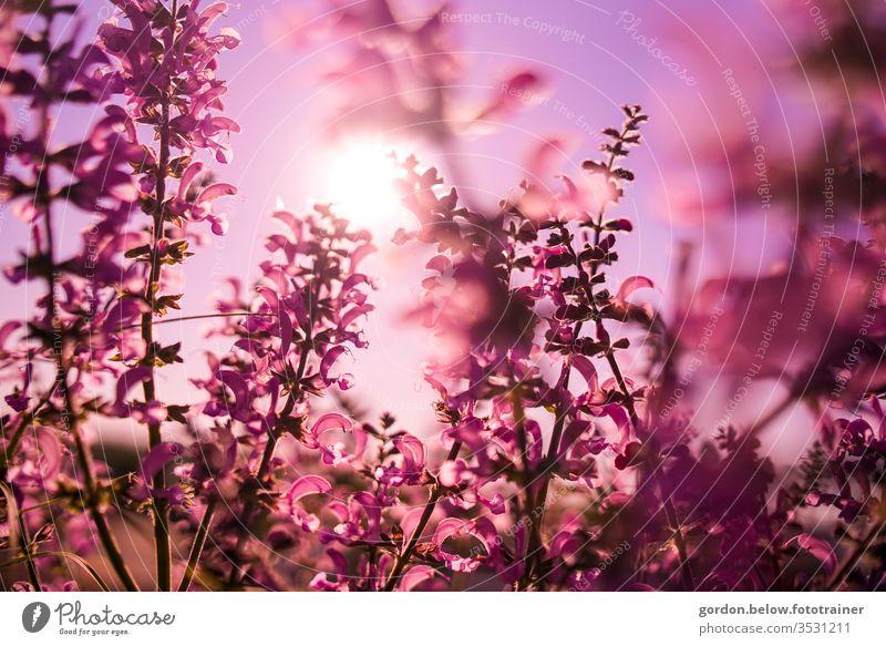 Frühlingsblüten Lilatraum lila Blüten im Vordergrund Natur Farbfoto Außenaufnahme Nahaufnahme schön Detailaufnahme Blühend Schwache Tiefenschärfe Menschenleer