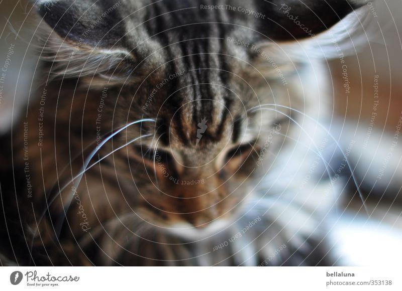 Charlie Tier Haustier Katze Tiergesicht Fell 1 Blick sitzen weich braun grau schwarz weiß Hauskatze Gedeckte Farben mehrfarbig Innenaufnahme Nahaufnahme
