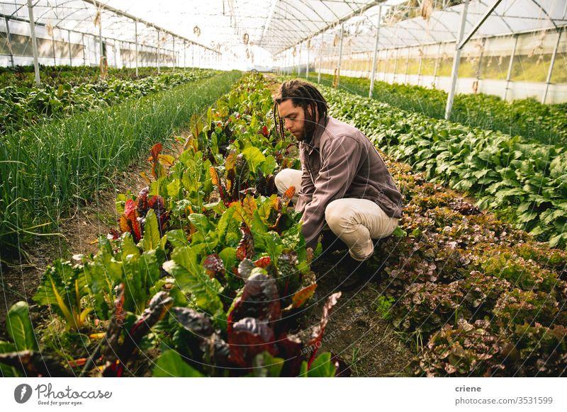 Junger Erwachsener, der im Gewächshaus arbeitet und frische organische Mangold-Form pflückt Feld nachhaltig Mann produzieren Garten Landwirt Natur grün Ernte