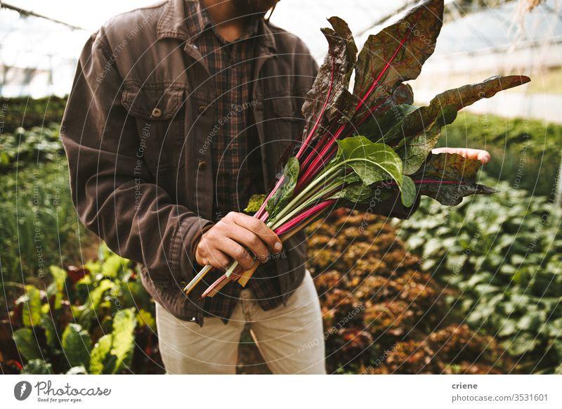 Nahaufnahme der Hände mit frisch gepflücktem Bio-Mangold im Gewächshaus Beteiligung nachhaltig produzieren Garten Landwirt Natur grün Ernte organisch Bauernhof