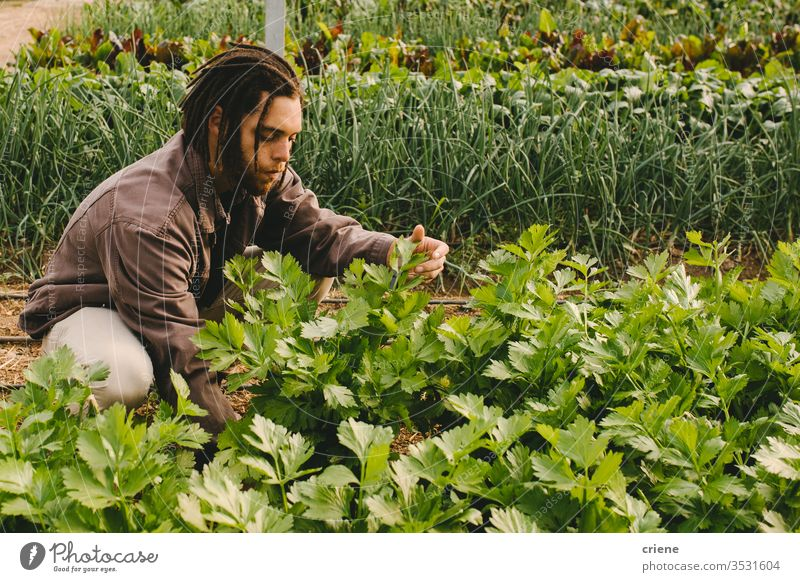 Junge Erwachsene, die im Gewächshaus arbeiten und frischen Bio-Sellerie vom Feld pflücken nachhaltig Mann produzieren Garten Landwirt Natur grün Ernte organisch