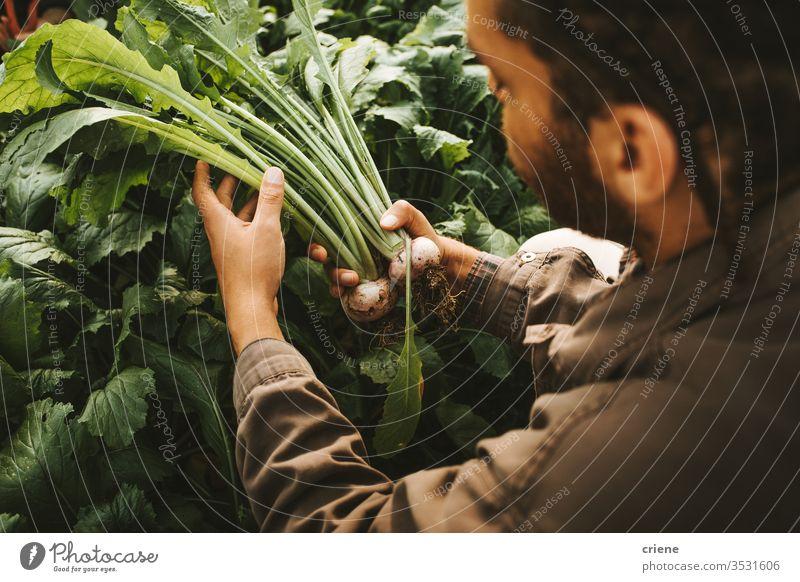 Männlicher Gärtner mit frisch geernteten Rüben aus dem Garten nachhaltig produzieren Landwirt Natur grün Ernte organisch Bauernhof Ackerbau Gemüse Gesundheit