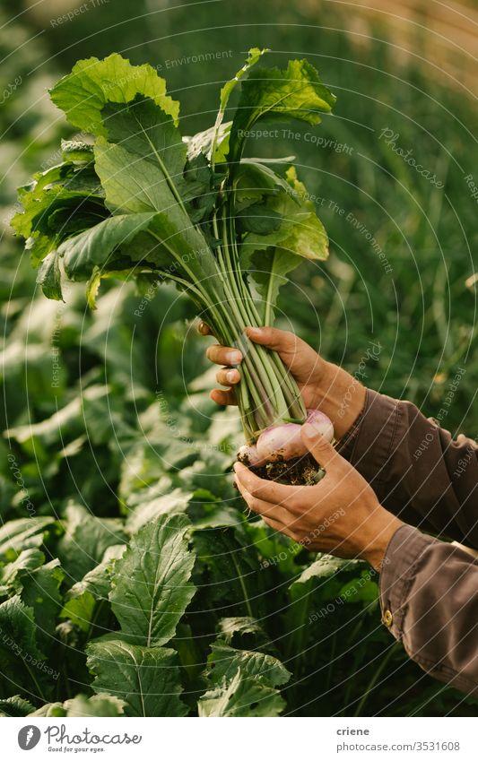 Nahaufnahme der Hände, die frisch gepflückte Bio-Rüben halten nachhaltig produzieren Garten Landwirt Natur grün Ernte organisch Bauernhof Ackerbau Gemüse