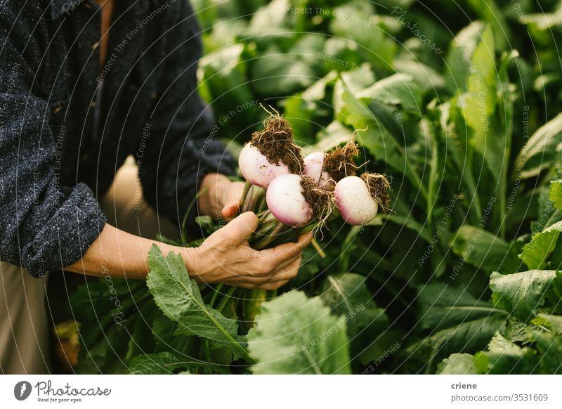 Gärtner prüft die Qualität von Gemüseballen vom Feld Überprüfung Steuerung von Nahaufnahme Rübe nachhaltig produzieren frisch Garten Landwirt Natur grün Ernte