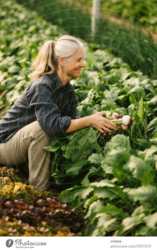 Leitender Landarbeiter pflückt Bio-Rüben im Gewächshaus Lächeln Senior Glück nachhaltig Frau produzieren frisch Garten Landwirt Natur grün Ernte organisch