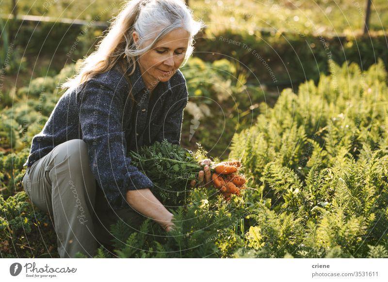 kaukasische ältere Frau, die frische Karotten aus dem Garten pflückt Lächeln Senior Glück Möhre nachhaltig produzieren Landwirt Natur grün Ernte organisch