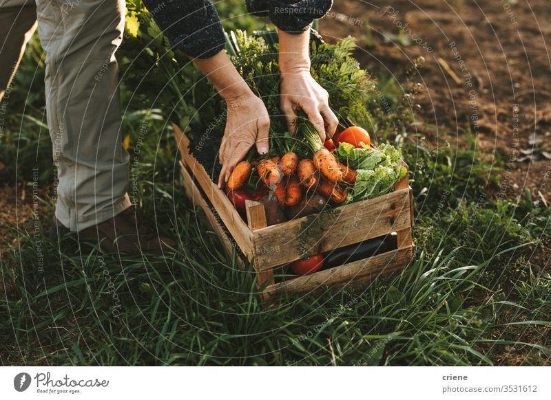 Nahaufnahme einer Frau, die auf dem Feld eine Holzkiste mit frisch gepflückten Gemüsekisten packt Karotten hausgemacht Garten Hände Tomate Kasten Kiste