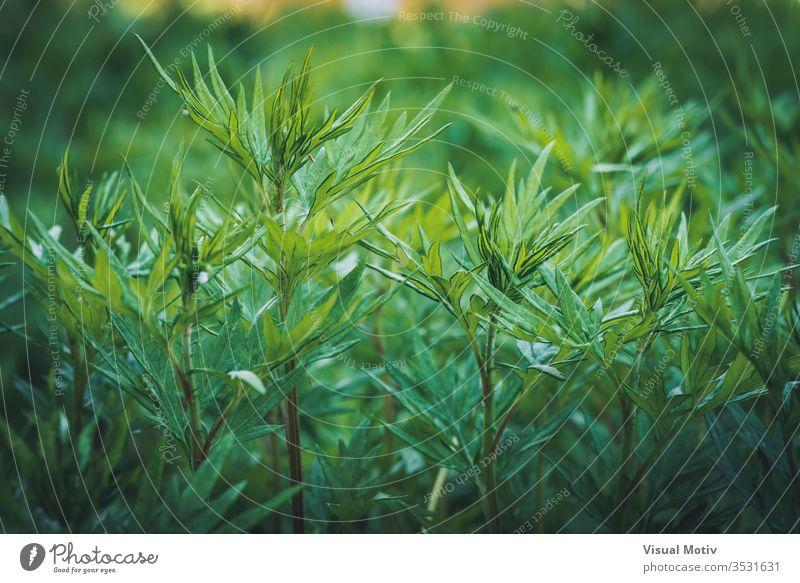 Nahaufnahme von wild wachsenden grünen Sträuchern Natur Botanik botanisch im Freien Außenseite natürlich Pflanzen Blätter Flora Vegetation Laubwerk Ökologie