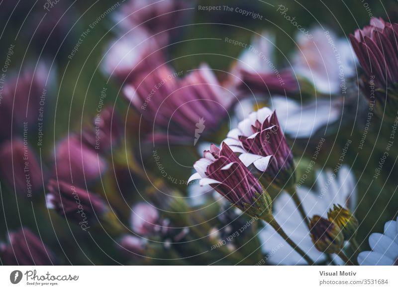 Blüten der Osteospermum 'Soprano Purple', allgemein bekannt als afrikanische Gänseblümchen oder Kap-Gänseblümchen Blumen Blütezeit botanisch Botanik Knospen