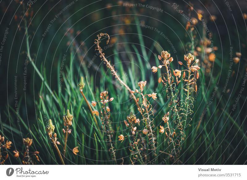 Blüten und Knospen der Bulbine frutescens, auch bekannt als Burn Jelly-Pflanze Wachstum Brandgelee Schönheit in der Natur Nahaufnahme Feld Land keine Menschen