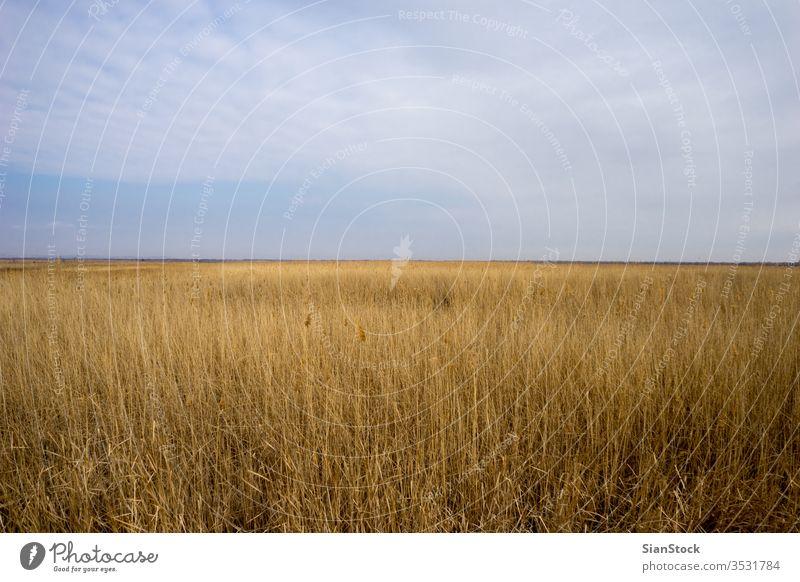 Goldenes Wildweizenfeld mit blauem Himmelshintergrund Weizen Feld golden Natur Korn Sommer Landschaft gelb Pflanze Sonne Ernte Bauernhof Saison Roggen ländlich