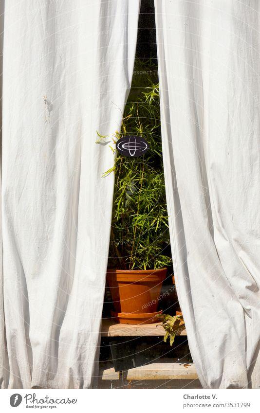 Bühnenreif | Zimmerpflanze im Fenster, gerahmt von hellen Vorhängen, fotografiert von außen. grün Pflanze Dekoration & Verzierung Blumentopf Grünpflanze