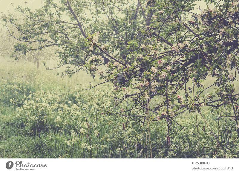 blühender Apfelbaum am Rande eines Feldes im Morgendunst Apfelblüte Feldrand Wiese Obstwiese Detailaufnahme Frühling Baum Obstbaum Obstbaumblüte grün Pflanze