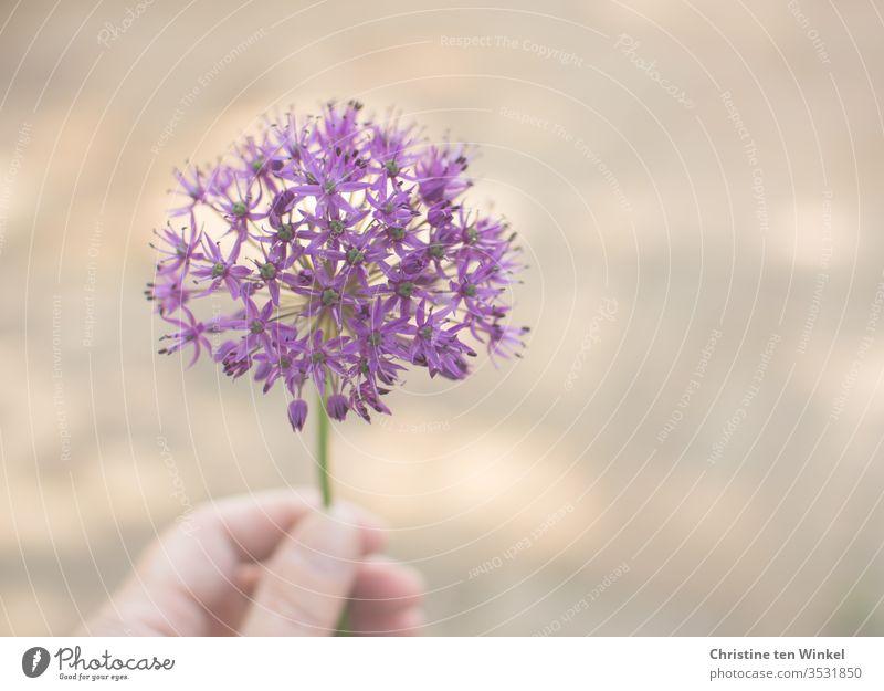 schöne violette Blüte des Zierlauchs / Allium, gehalten von der Hand einer Frau, unscharfer Hintergrund mit gesprenkeltem Licht Zierlauchblüte