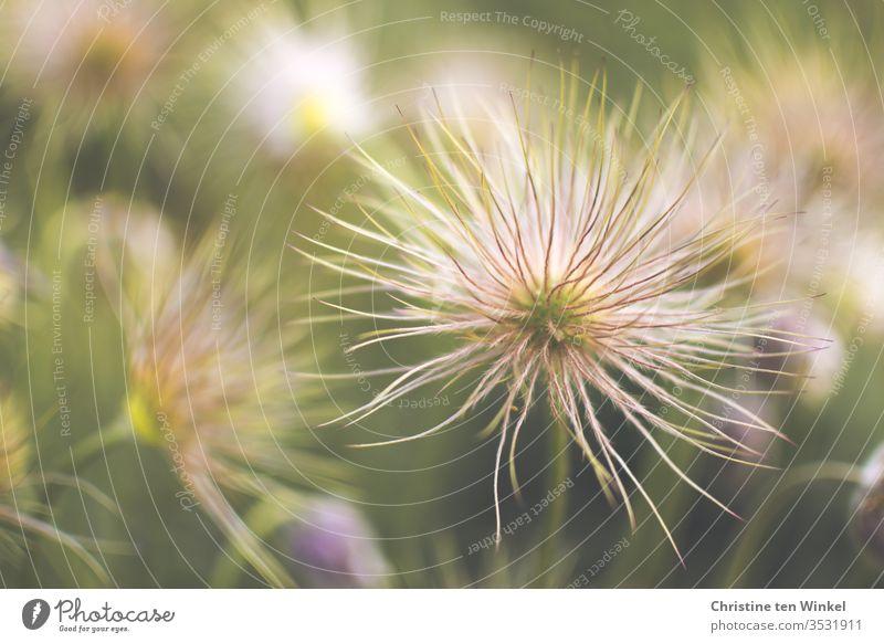 Samenstände verblühter Kuhschellen / Pulsatilla vulgaris Küchenschelle Pasqueblume pulsatilla vulgaris Garten Unschärfe Pflanze Natur schön Frühlingsblume