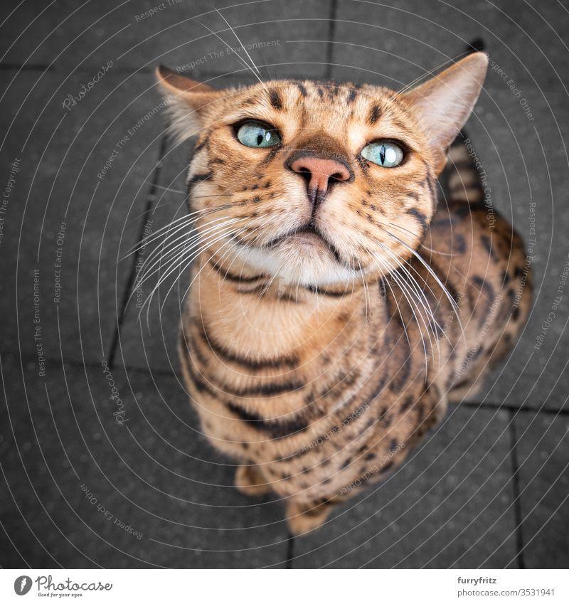 niedliches und lustiges Portrait einer Bengal Katze bengalische Katze Rassekatze Haustiere bezaubernd Porträt im Freien in die Kamera schauen schön Schnurrhaar