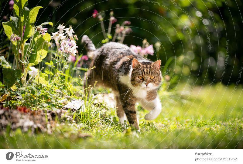 Britische Kurzhaar Katze läuft durch den sonnigen Garten mit Frühlings Blumen Rassekatze Haustiere Tabby Britisch Kurzhaar weiß im Freien grün