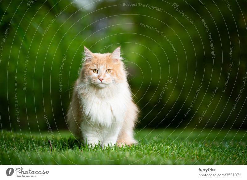 Maine Coon Katze sitz im Garten in der Natur und sieht in die Kamera Rassekatze Haustiere Langhaarige Katze weiß cremefarben beige Hirschkalb im Freien grün