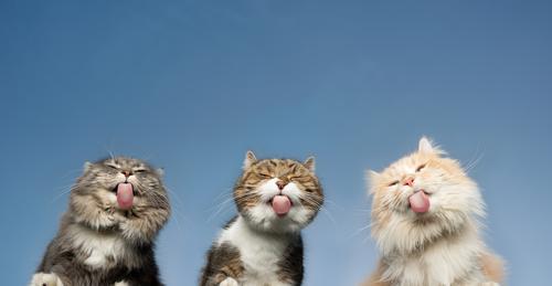 Unteransicht von drei Katzen, die unsichtbare Fensterscheiben vor klarem blauen Himmel lecken Haustiere Rassekatze Langhaarige Katze Maine Coon weiß cremefarben
