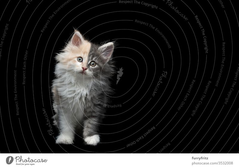 Maine Coon Kitten mit zwei unterschiedlichen Farben Studioaufnahme in die Kamera schauen Katzenbaby Textfreiraum schwarzer Hintergrund 2-5 Monate 8-10 Wochen