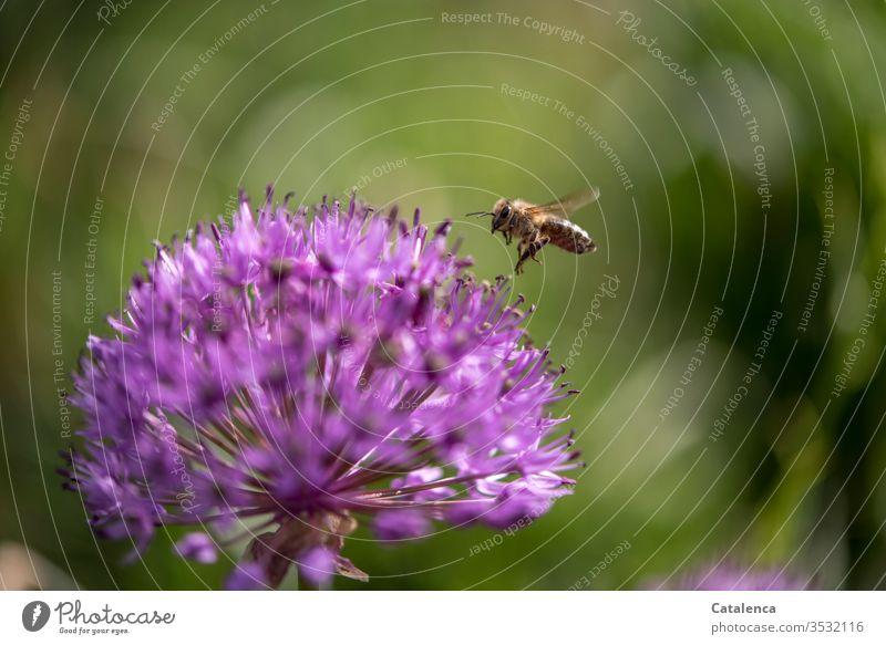 Die Biene landet auf einer Zierlauchblüte Tier Insekt Honigbiene fliegen fleißig emsig Pflanze Blume Blüte grün rosa Makroaufnahme Tag Garten fliegend