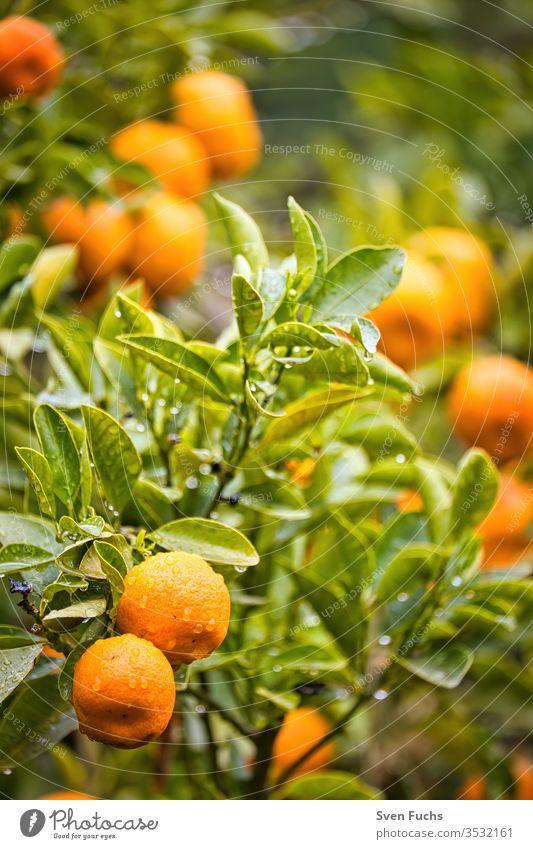 Reife Mandarinen an einem Mandarinenbaum mandarinen früchte vitamine mandarinenbaum regen nass pflanze garten natur natürlich grün frisch lebensmittel blatt