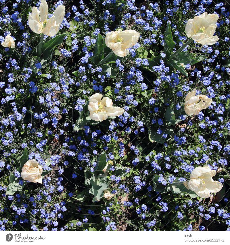 Tulpen und Vergissmeinnicht blühen in einem Beet Blume Blüte Pflanze weiß blau Blühend grün Sommer Garten Frühling Natur Wachstum Blumenwiese Vergißmeinnicht
