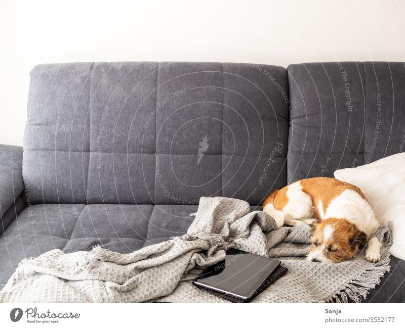 Kleiner Terrier Hund schläft auf einer grauen Couch neben einem Tablet auf einer Wolldecke Liege schlafen Soziale Distanz zu Hause bleiben gemütlich Hygge