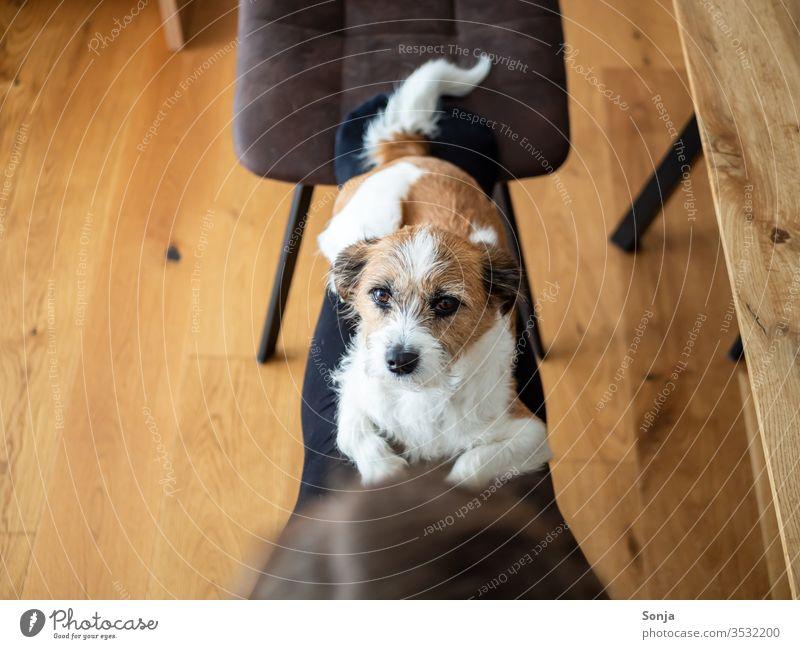 Kleiner Terrier Hund liegt auf den Beinen einer Frau mit Blick in die Kamera klein bequem liegen Hygge Soziale Distanz zu Hause bleiben Mischlingshud Stufe