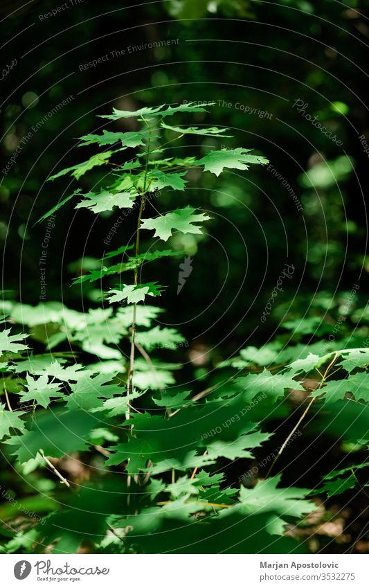 Üppig grüne Blätter im tiefen Wald im Frühling abstrakt Hintergrund schön Schönheit Buchsbaum botanisch Botanik Ast hell Farbe Erhaltung Tag Design Öko Ökologie