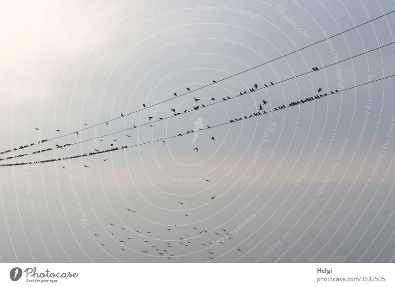 2300 | viele Stare sitzen in der Abendsonne auf mehreren Stromleitungen, einige fliegen umher Vögel Zugvögel Vogelzug Rast rasten Himmel Wolken Schwarm