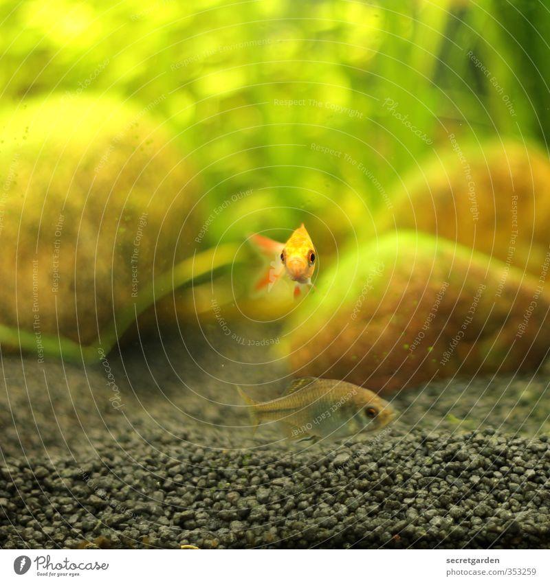 ....wie ein fisch im wasser. Schwimmen & Baden Tier Fisch Aquarium 1 Tierjunges Blick klein Neugier braun gelb grün Mut Tierliebe Traurigkeit Einsamkeit Mitte