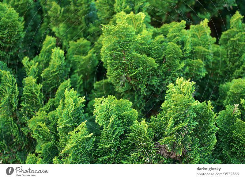 Lebensbaum Koniferen Hecke im Detail grün Menschenleer Farbfoto Sträucher Garten Park Conifere Immergrün immergrüne pflanze Blatt Außenaufnahme Natur frisches