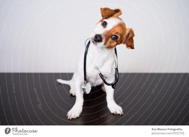 süßer Jack-Russell-Hund in der Tierklinik. Hält ein Stethoskop in der Hand. Veterinärmedizinisches Konzept jack russell Haustier Klinik Verletzung