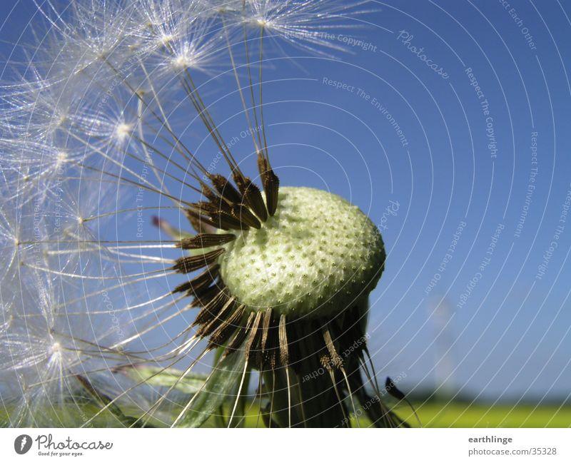 Pusteblume Sonne grün blau Pflanze Frühling nah Löwenzahn Samen Stempel Mai unvollendet