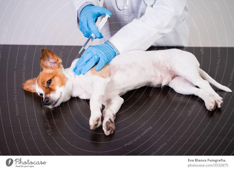veterinärmediziner, der in der Klinik mit dem süßen kleinen Jack-Russell-Hund arbeitet. Trägt Schutzhandschuhe und Maske während der Quarantäne. Dem Hund eine Injektion geben.Gesundheitspflege für Haustiere