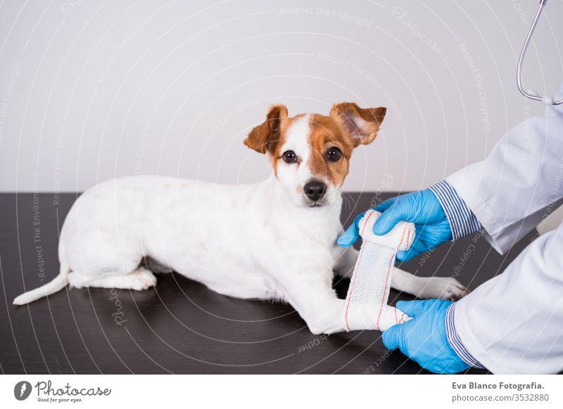 veterinärmediziner, der in der Klinik mit dem süßen kleinen Jack-Russell-Hund arbeitet. Trägt Schutzhandschuhe und Maske während der Quarantäne. Arzt, der die Pfoten bandagiert. Gesundheitspflege für Haustiere