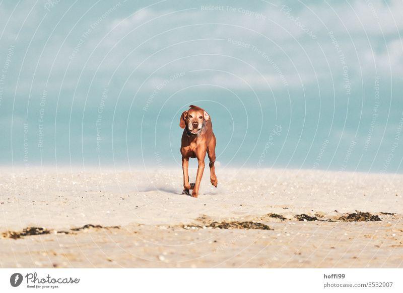 Hund am Strand rennt mit Ball zu Herrchen/Frauchen und will nur spielen groß Haustier Sand Tier Meer Welpe Reinrassig Freundschaft Sommer Spielen Glück Aktion