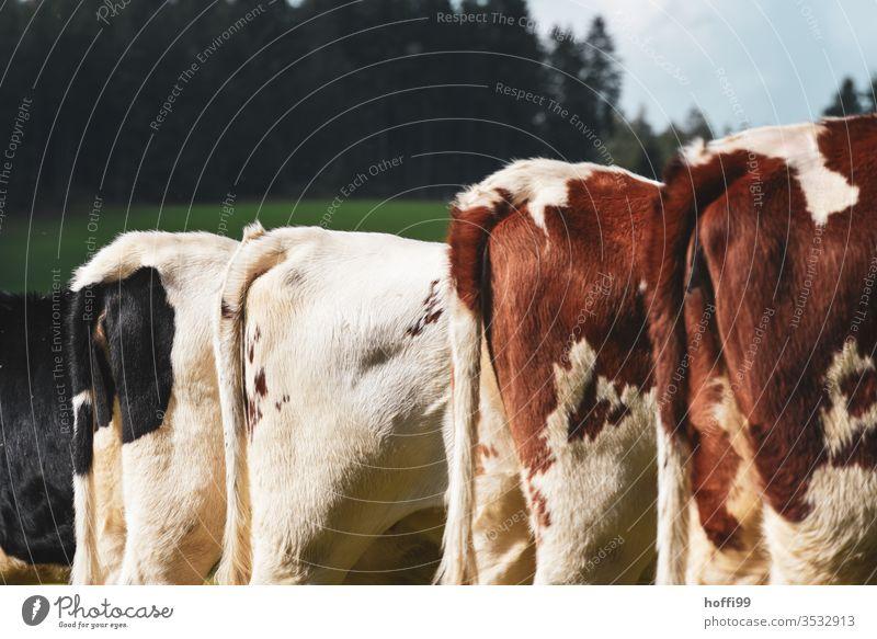 vier Hinterteile in Reihe - Kühe im Schwarzwald Kälber Wiese Weide Kuh Sommer Nutztier Natur Landschaft Rind Gras grün Herde Tiergruppe Tierporträt Umwelt