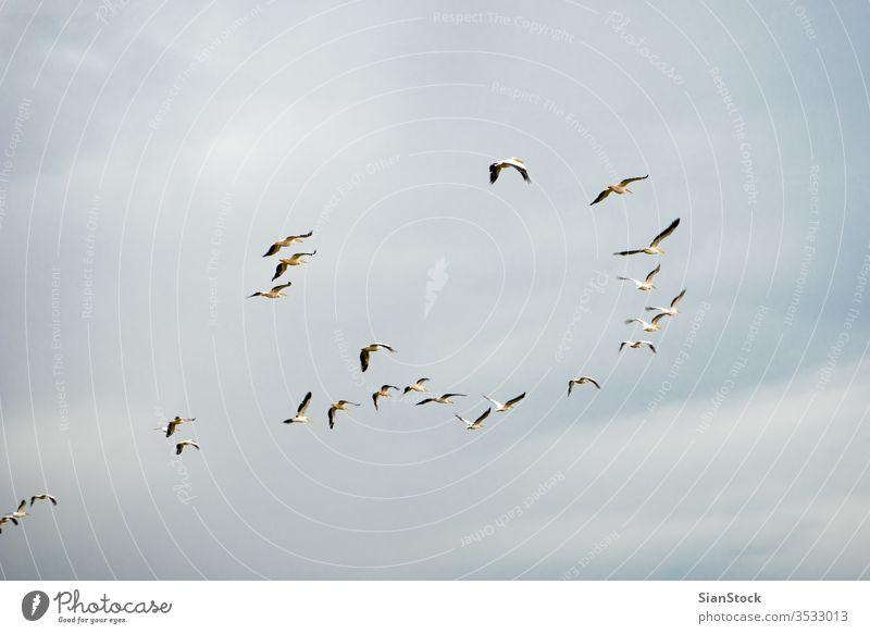 Scharen von Pelikanen fliegen in der Luft auf Griechenland weiß Silhouette Meer Vogel Fliege Natur Sonne Tier Norden Golf Hula braun groß Schwarm pelecanus