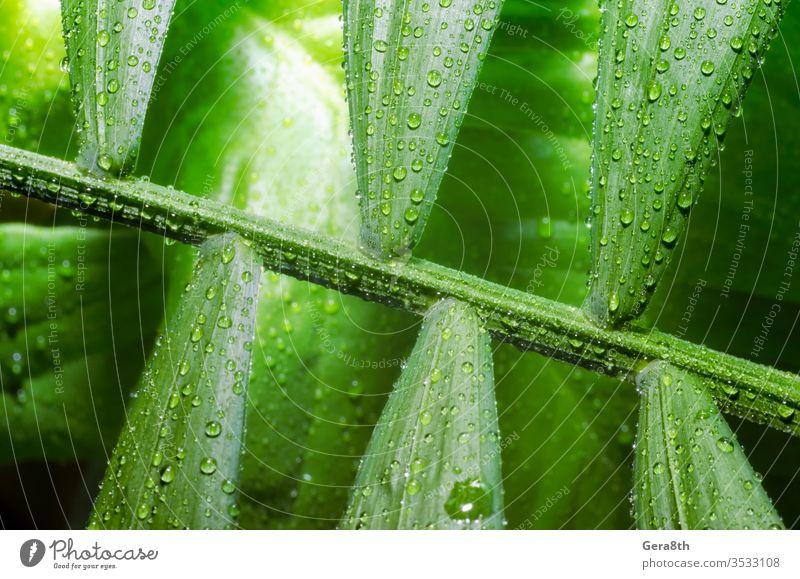 grünes Blatt einer tropischen Pflanze mit Tautropfen aus nächster Nähe Hintergrund Bambuspalme hell schließen abschließen Nahaufnahme Taubild Tropfen Umwelt
