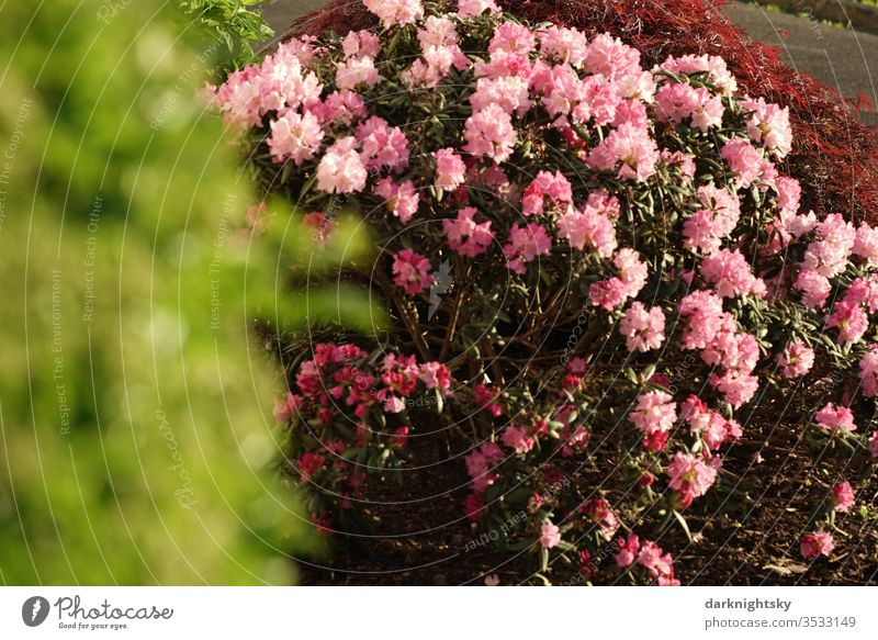 Rhododendron Strauch in einem Garten blühende Frphling rote hellrot hellrote grün hellgrün unscharf Unschärfe bokeh rosa Blüten Natur Menschenleer Frühling