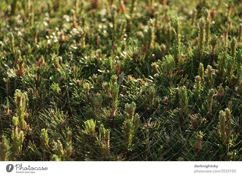 Kiefer Koniferen Hecke im Detail Lebensbaum grün Menschenleer Farbfoto Sträucher Garten Park Conifere Immergrün immergrüne pflanze Blatt Außenaufnahme Natur