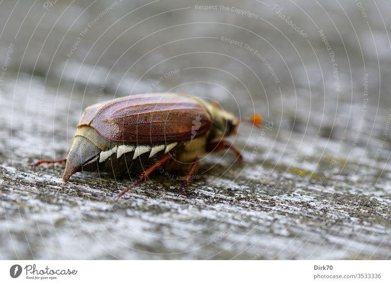 Maikäfer-Abgang Käfer krabbeln Insekt Schwache Tiefenschärfe Tier Farbfoto Natur Tag Außenaufnahme 1 Nahaufnahme Makroaufnahme Tierporträt braun