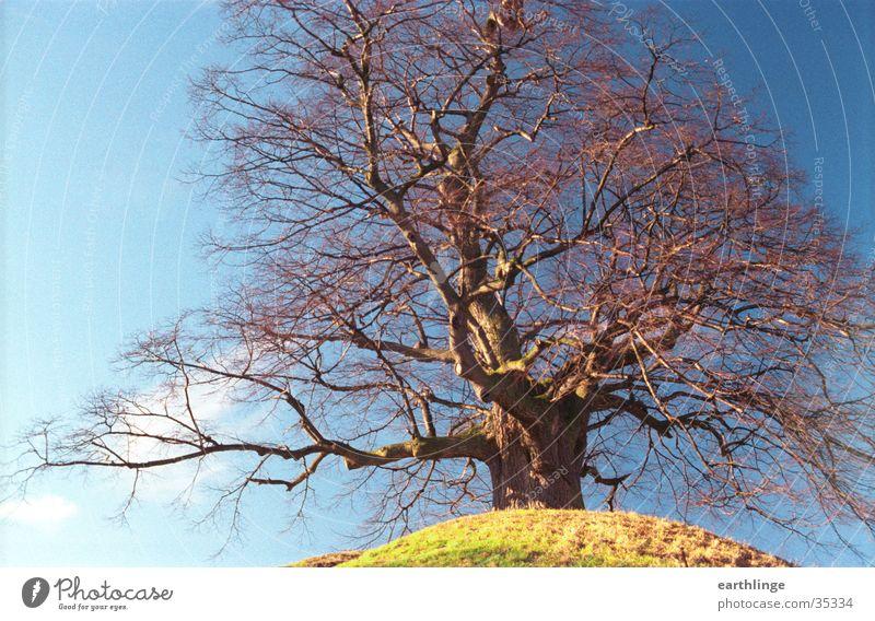 Die Dorfälteste Natur alt blau rot ruhig Winter kalt Senior Gras Kraft Ast Kraft Ewigkeit Sicherheit Hügel Vertrauen