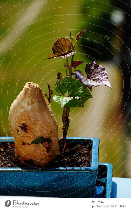 Die Süßkartoffel als Zimmerpflanze Batate Triebe Nutzpflanze Knollenwinde Pflanze Wachstum Blatt