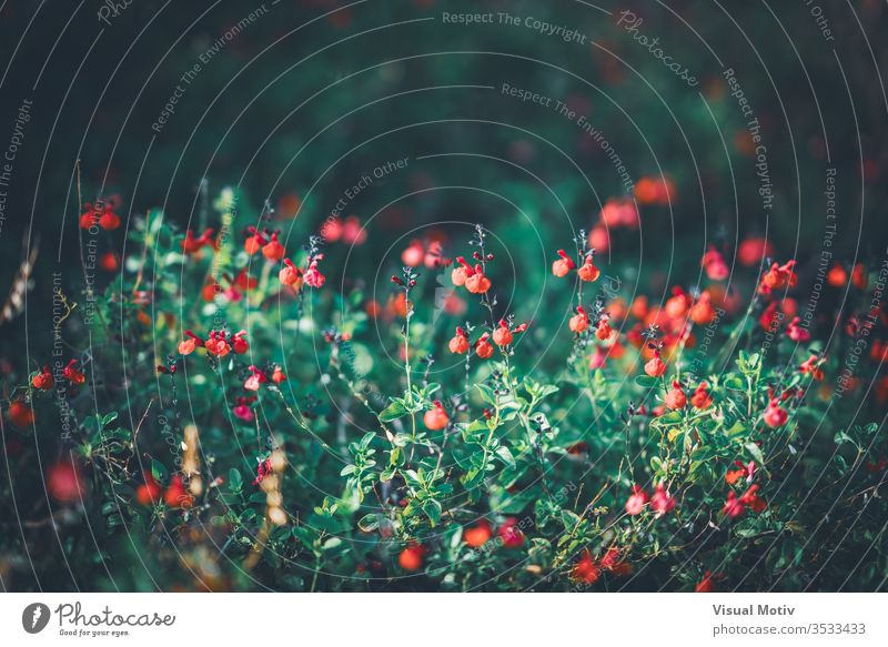 Rote winzige Blüten des Wimpernsalbei, auch bekannt als Salvia blepharophylla Wimpernblättriger Salbei roter Salbei Blütenpflanze Blume Pflanze Zerbrechlichkeit