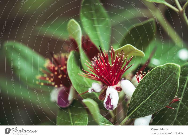 Exotische rote Blüten des Ananas-Guavenbaums, auch bekannt als Feijoa Sellowiana feijoa Blumen Blütezeit botanisch Botanik Flora geblümt Blütenblätter blumig