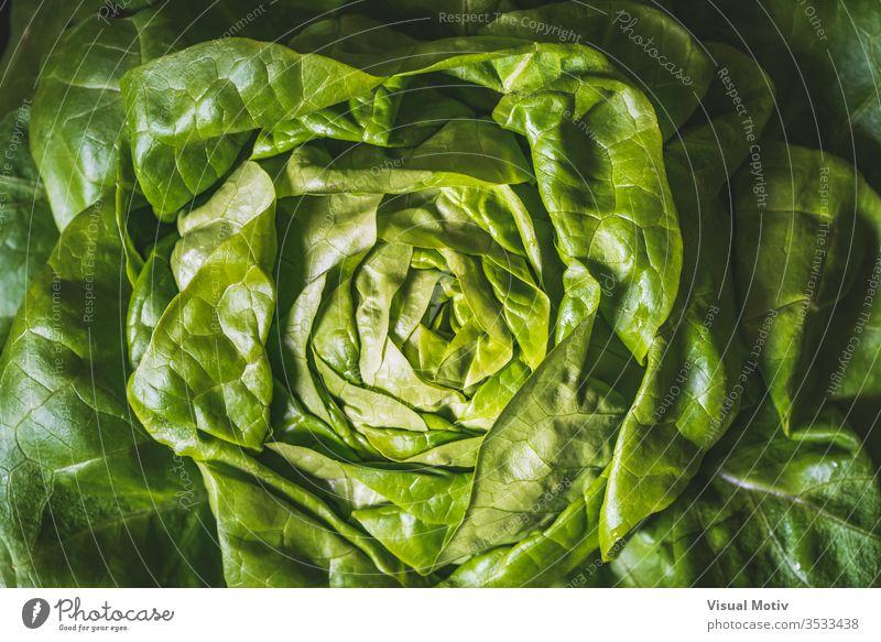 Grüne und frische Blätter eines Bio-Butterkopfsalats, auch bekannt als Buttersalat, Bostonsalat oder Bibb-Salat Ackerbau Hintergrund Bostoner Salat