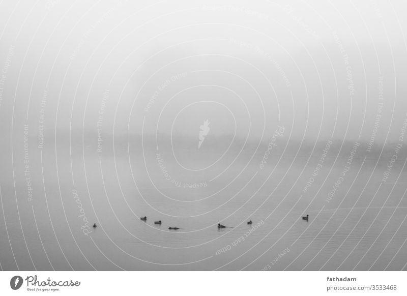 Enten schwimmen auf dem See an einem nebligen Morgen in Schwarzweiß Herbst Vögel schwarz auf weiß Windstille fallen Nebel Nebellandschaft Wald Landschaft